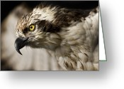 Raptor Greeting Cards - Osprey Greeting Card by Adam Romanowicz