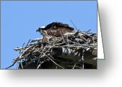 Kites Greeting Cards - Osprey and chick in nest Greeting Card by Merle Ann Loman