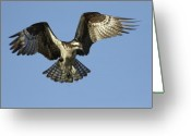 Osprey Photo Greeting Cards - Osprey Approach Greeting Card by John Blumenkamp