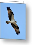 Osprey Photo Greeting Cards - Osprey at One mile lake B.C Greeting Card by Pierre Leclerc