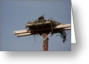 Osprey Pyrography Greeting Cards - Osprey Nest Greeting Card by Laurie Kidd