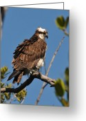 Osprey Photo Greeting Cards - Osprey on Perch Greeting Card by Alan Lenk