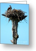 Osprey Photo Greeting Cards - Osprey Point Greeting Card by Karen Wiles