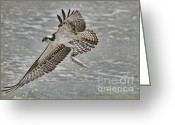 Osprey Photo Greeting Cards - Osprey With Breakfast Greeting Card by Deborah Benoit