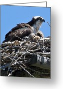 Kites Greeting Cards - Osprey with chicks Greeting Card by Merle Ann Loman