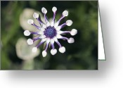 Whirls Greeting Cards - Osteospermium white Whirls Greeting Card by Dr Keith Wheeler