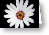 Victoria Wise Greeting Cards - Osteospermum Greeting Card by Victoria Wise