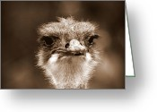 Australian Animal Greeting Cards - Ostrich in Sepia Greeting Card by Tam Graff