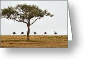 Tree. Acacia Greeting Cards - Ostrich Walk Greeting Card by Joe Bonita