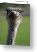 African Animals Greeting Cards - Ostrich What a Face Greeting Card by Laura Mountainspring