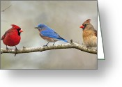 Red Birds Greeting Cards - Out on a limb . . . Greeting Card by Bonnie Barry