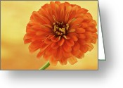 Indiana Flowers Greeting Cards - Outrageous Orange Greeting Card by Sandy Keeton