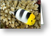 French Polynesia Greeting Cards - Pacific Double-saddle Butterflyfish Greeting Card by Tim Laman