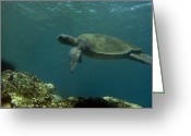 Common Green Turtle Greeting Cards - Pacific Green Sea Turtle Chelonia Mydas Greeting Card by Pete Oxford
