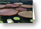 Lilly Pad Greeting Cards - Pad Platters Greeting Card by Nancy Chase