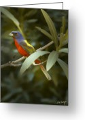 Carolina Greeting Cards - Painted Bunting Male Greeting Card by Phill  Doherty