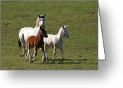 Jackass Foal Greeting Cards - Pair Of Jacks Queen High Greeting Card by David Dunham