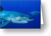 Gill Island Greeting Cards - Pair Of Male Great White Sharks Greeting Card by Todd Winner