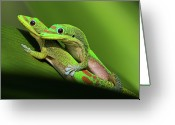 Pacific Islands Greeting Cards - Pair Of Mating Green Geckos Greeting Card by Pete Orelup