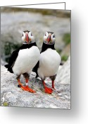 Camera Greeting Cards - Pair Of Puffins Greeting Card by Betty Wiley
