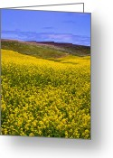 Rape Greeting Cards - Palouse Canola Greeting Card by David Patterson
