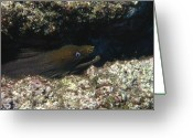 Marine Animal Greeting Cards - Panamic Green Eel Hides In Reef Greeting Card by James Forte