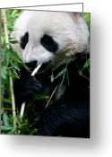 Panda Greeting Cards - Panda Express Greeting Card by Brad Scott