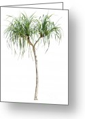 Thorn Greeting Cards - Pandanus Greeting Card by Atiketta Sangasaeng