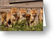 Paws Digital Art Greeting Cards - Panoramic Fox Kits Greeting Card by Mark Duffy
