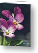 Color Purple Greeting Cards - Pansies in the Sun Greeting Card by Kristin Kreet