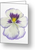 1-up Greeting Cards - Pansy 2 Greeting Card by Tony Cordoza