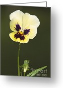 Viola Tricolor Greeting Cards - Pansy Flower Greeting Card by Leonid Serebrennikov