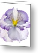 1-up Greeting Cards - Pansy Greeting Card by Tony Cordoza