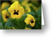 Viola Tricolor Greeting Cards - Pansy violet 2 Greeting Card by Jouko Lehto