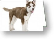 Panting Dog Greeting Cards - Panting Holiday Puppy Greeting Card by Chris Stein