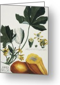 Georg Greeting Cards - Papaya Greeting Card by Georg Dionysius Ehret