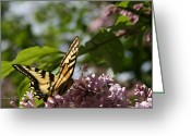 Beautiful Flowering Trees Greeting Cards - Papilio glaucus   Eastern Tiger Swallowtail  Greeting Card by Sharon Mau