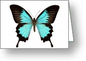 Swallow Tail Butterfly Greeting Cards - Papilio Montrouzieri Butterfly Greeting Card by Dr Keith Wheeler