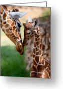 Giraffe Greeting Cards - Parent-Child Relationship Greeting Card by Yuri Peress