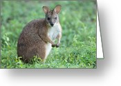 Property Released Photography Greeting Cards - Parma Wallaby Macropus Parma Greeting Card by Joel Sartore