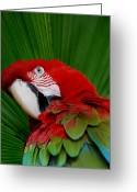 Wildlife Photos Greeting Cards - Parrot Head Greeting Card by Skip Willits