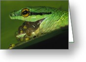 Red Eyed Leaf Frog Greeting Cards - Parrot Snake Eating Tree Frog Eggs Greeting Card by Christian Ziegler