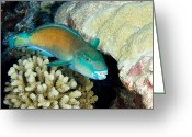 French Polynesia Greeting Cards - Parrotfish With Coral Greeting Card by Tim Laman