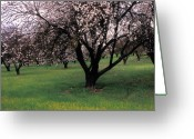 Trees Blossom Greeting Cards - Paso Robles Orchard Greeting Card by Kathy Yates