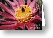 Pasque Flower Greeting Cards - Pasque Flower Macro Greeting Card by Carol Groenen
