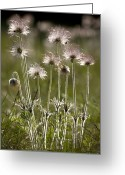 Pasque Flower Greeting Cards - Pasque Flower (pulsatilla) Greeting Card by Bob Gibbons