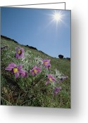 Pasqueflower Greeting Cards - Pasque Flower Pulsatilla Sp On Hillside Greeting Card by Konrad Wothe
