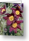Pasque Flower Greeting Cards - Pasque Flower (pulsatilla Vulgaris) Greeting Card by Adrian T Sumner