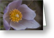 Pasqueflower Greeting Cards - Pasqueflower Blossom Greeting Card by Katie LaSalle-Lowery