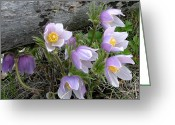 Pasqueflower Greeting Cards - Pasqueflower Bouquet Greeting Card by Katie LaSalle-Lowery